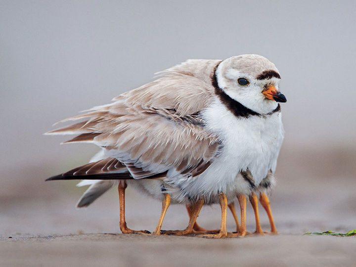 21 Animals and Their Young - Young plover birds sheltered by their mother.
