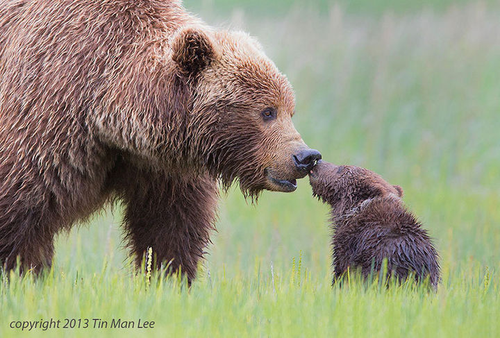 21 Animals and Their Young - A grizzly mom getting a kiss from her adorable cub.