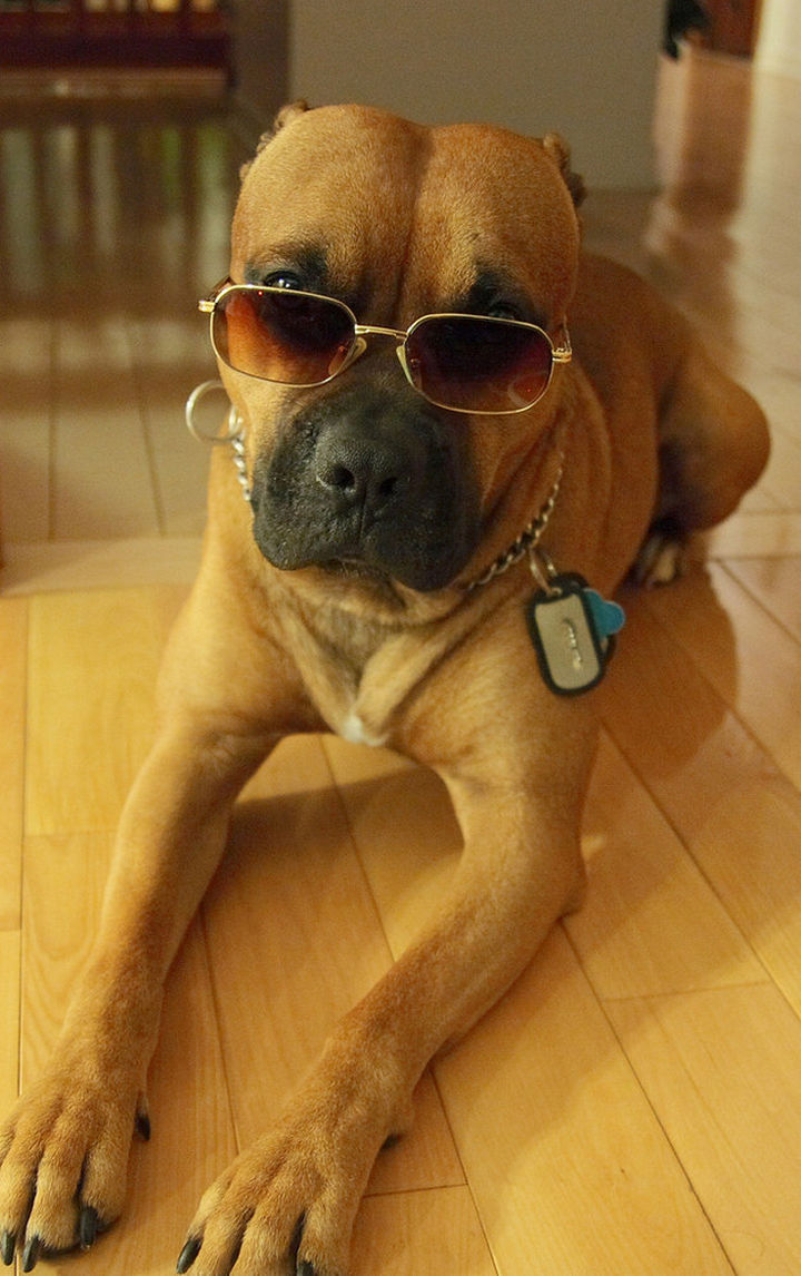Reasons You Shouldn't Own a Pit Bull - Their coolness factor will intimidate you.