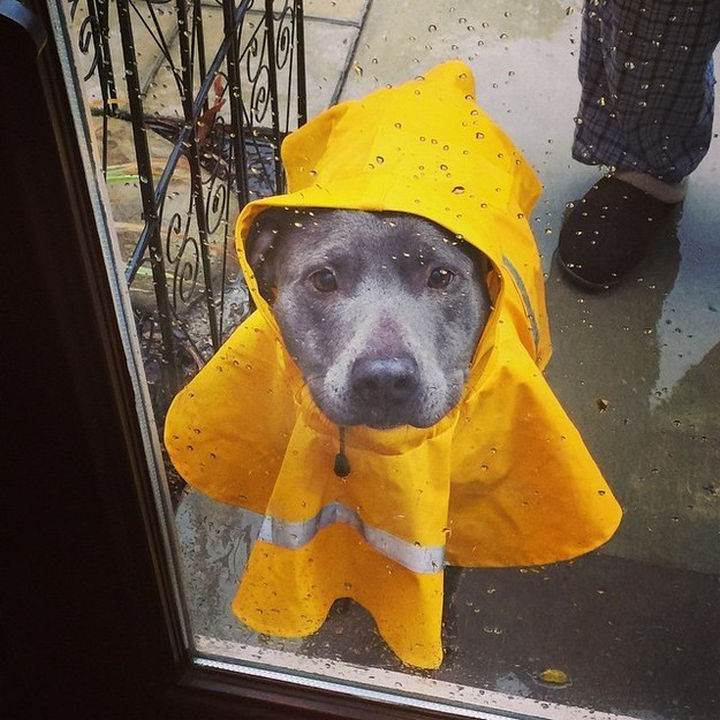 Reasons You Shouldn't Own a Pit Bull - They look cute in a raincoat!