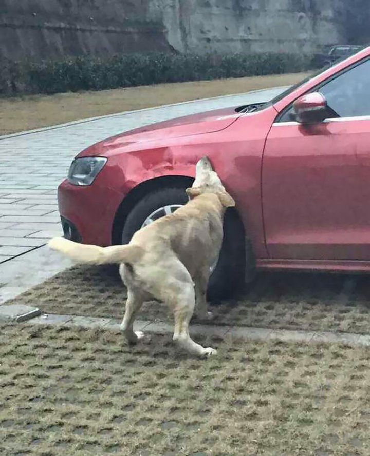 Dog Kicked by Driver Returns Later and Trashes His Car 04
