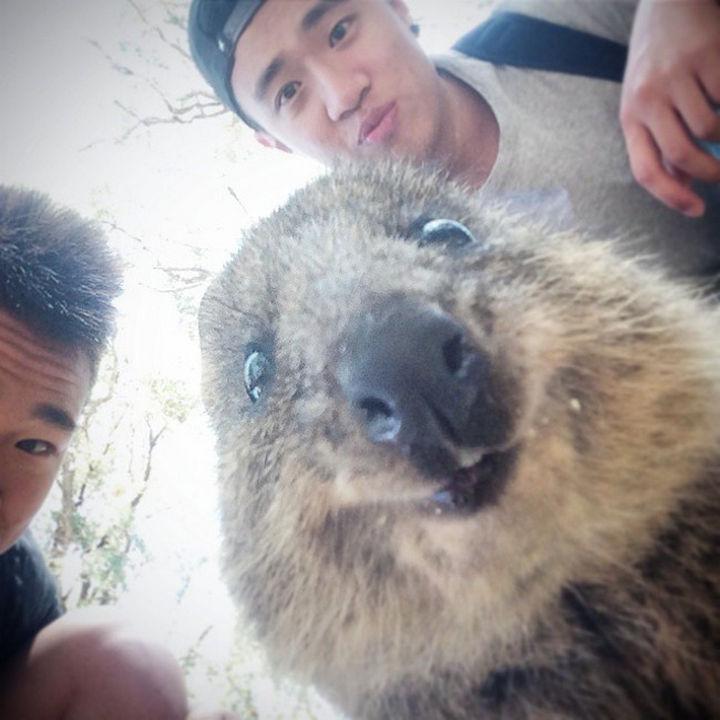 Quokka Selfie Trend - Image 14.