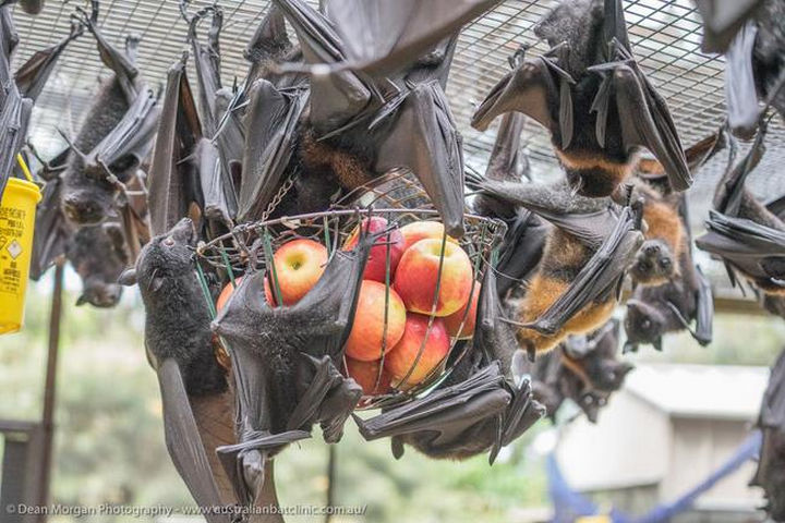 In addition to fruits, a bat's diet also consists of insects and are best known for controlling populations of mosquitos and moths.
