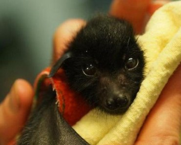 Orphaned Baby Bats Wrapped in Baby Blankets Are Too Cute.