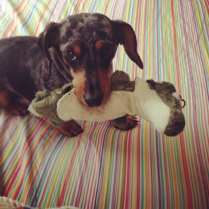 """28 Cute Dachshunds - """"I love my plush toy but I love snuggling up to you even more."""""""