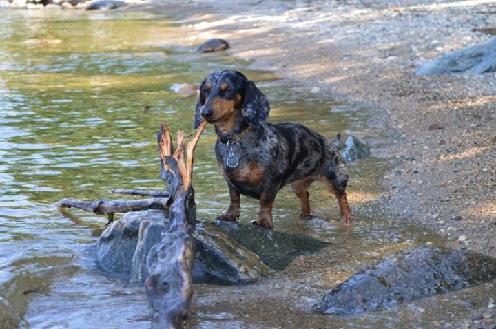 """28 Cute Dachshunds - """"I found it and it's all mine."""""""