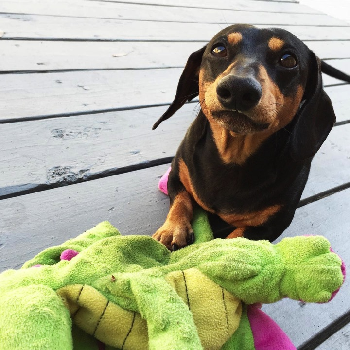"""28 Cute Dachshunds - """"I only look worried because my plush toy is broken!"""""""