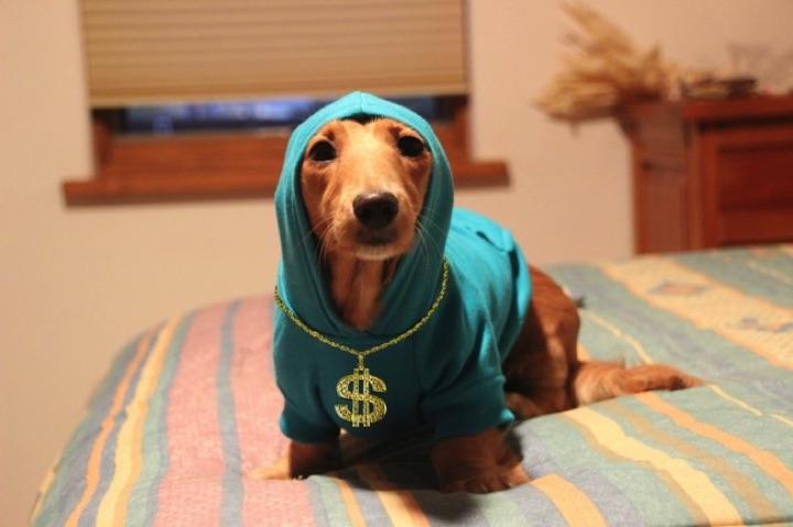 "28 Cute Dachshunds - ""Gangsta Doxie is in da house!"""