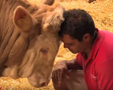 Bandit the Bull Rescued by the Gut Aiderbichl Sanctuary in Austria.