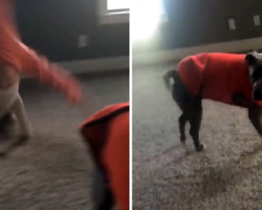Oakland the Rescued Pit Bull Learns How to Do a Cartwheel.
