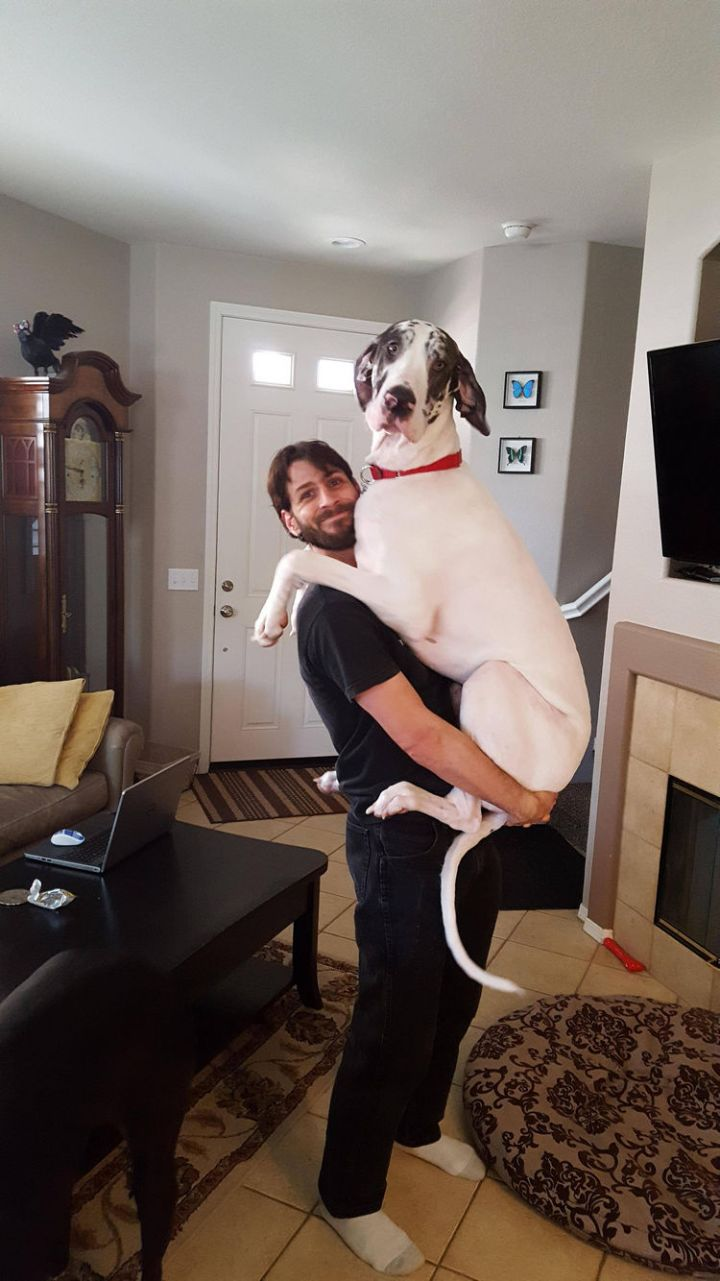 12 Huge Dogs That Still Think They Are Puppies - When your dog is this big, remember to lift with your legs!