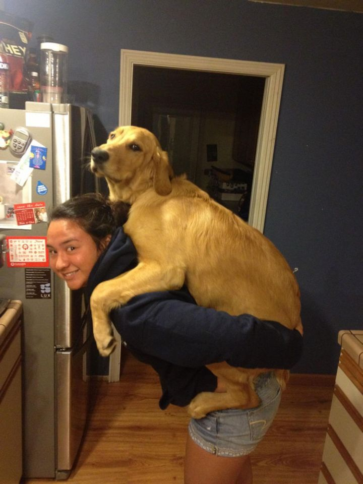 12 Huge Dogs That Still Think They Are Puppies - Her dog loves piggyback rides!