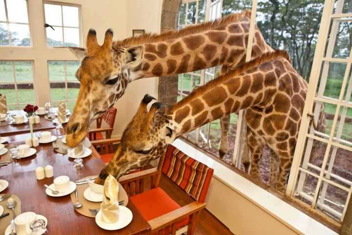 The windows at Giraffe Manor are just the perfect size to let them have dinner with guests.