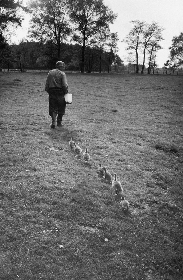 22 Timeless Images - Viennese scientist Dr. Konrad Lorenz is followed by a group of goslings who have accepted him as their mother (1955).