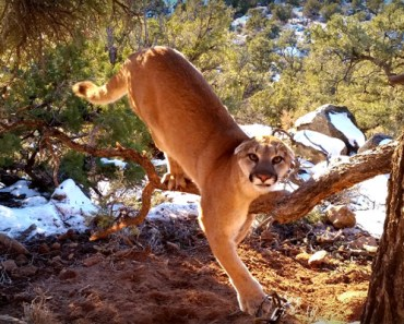 Cougar Released From Trap by Utah Conservation Officers.