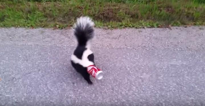 Orillia Man Helps Remove Soda Can Stuck onto Skunk's Head.