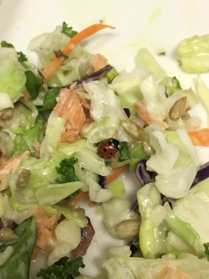 It's not uncommon to find little visitors in packaged organic lettuce or salads. Ladybugs like lettuce too!