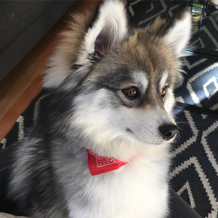 Meet Norman, an adorable Pomeranian Husky mix that is melting hearts on social media.