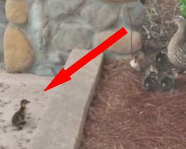 Little Duckling Never Gives up to Jump Over Curb and Reach Mom.