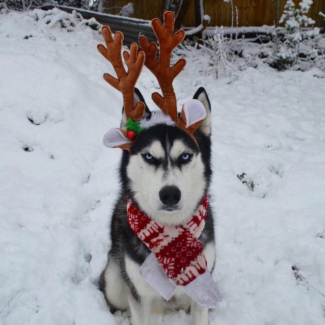This adorable husky doesn't seem to be thrilled with his reindeer outfit.