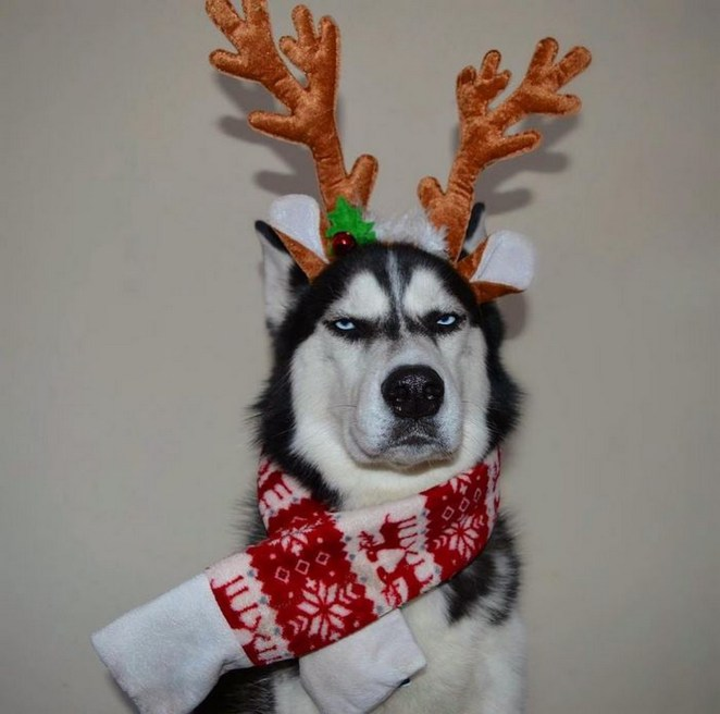 Meet Anuko the Husky, the adorable dog with a resting grumpy face.