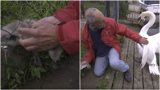Angry Swan Attacks Man Trying to Rescue Cygnet Stuck in a Fence.