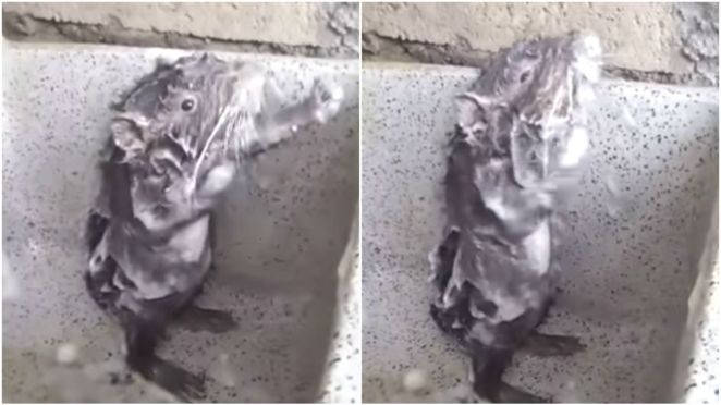 The 'Shower Rat' Washing Itself Is the Cutest Thing Ever but It's Not a Rat.