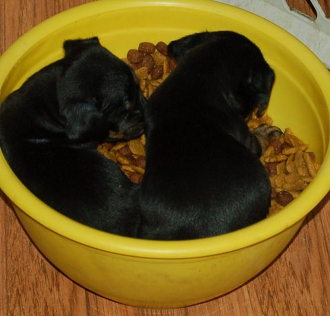 25 Puppies Asleep in Their Food Bowls - Twice the cuteness.