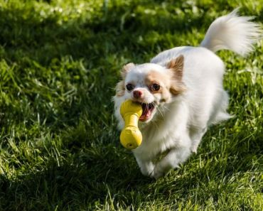 11 Best Small Dog Toys for Your Favorite Little Pooch.