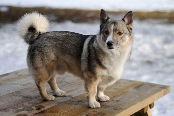 23 Rare Dog Breeds - Swedish Vallhund.