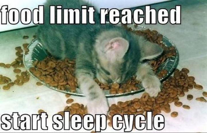 "55 Funny Cat Memes - ""Food limit reached. Start sleep cycle."""