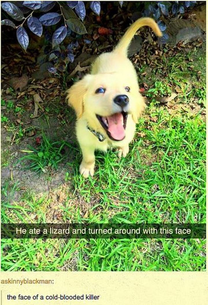 "101 best funny dog memes - ""He ate a lizard and turned around with this face. The face of a cold-blooded killer."""