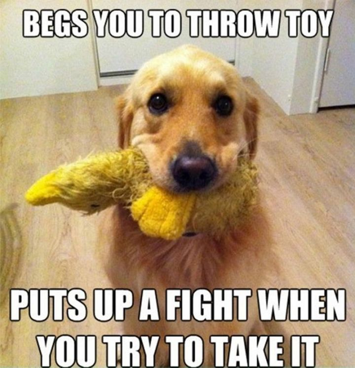 "101 best funny dog memes - ""Begs you to throw toy. Puts up a fight when you try to take it."""