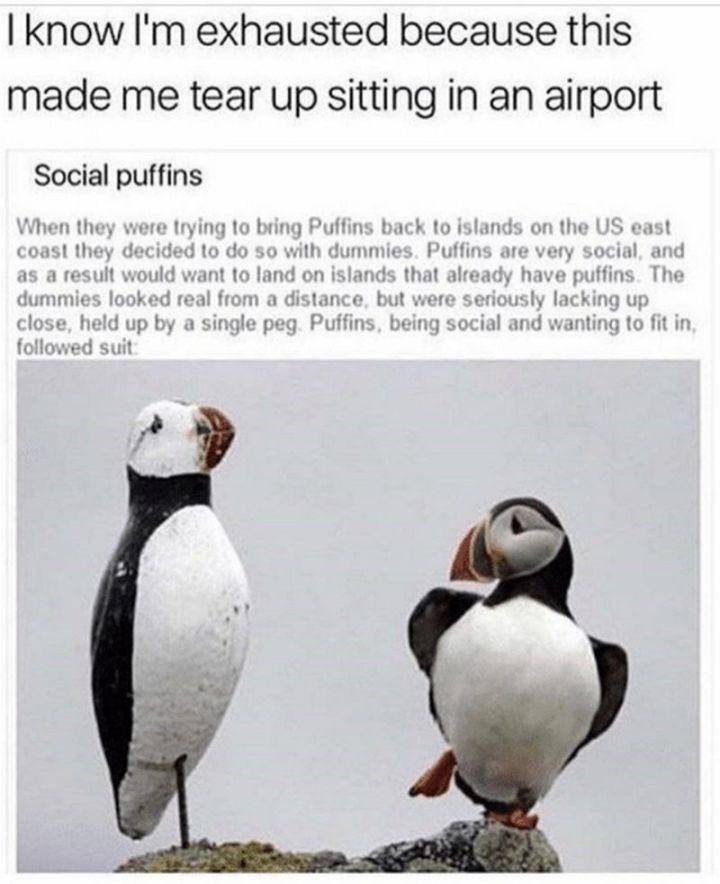 """37 Best Exhausted Memes - """"I know I'm exhausted because this made me tear up sitting in an airport: When they were trying to bring Puffins back to islands on the US east coast they decided to so with dummies. Puffins are very social, and as a result, would to land on islands that already have puffins. The dummies looked real from a distance, but were seriously lacking up close, held up by a single peg. Puffins, being social and wanting to fit in, followed suit..."""""""