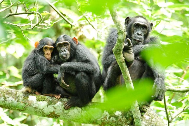27 Amazing Animal Facts - Wild chimpanzees in Guinea like to find and consume fermented palm sap. They like to get drunk.