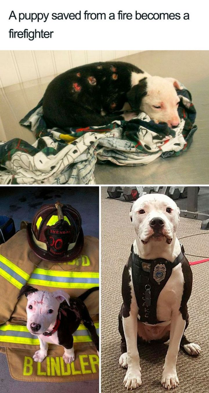 "55 Cute Dog Posts - ""A puppy saved from a fire becomes a firefighter."""
