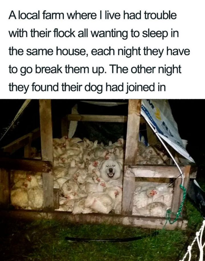 "55 Cute Dog Posts - ""A local farm where I live had trouble with their flock all wanting to sleep in the same house, each night they have to break them up. The other night they found their dog had joined in."""