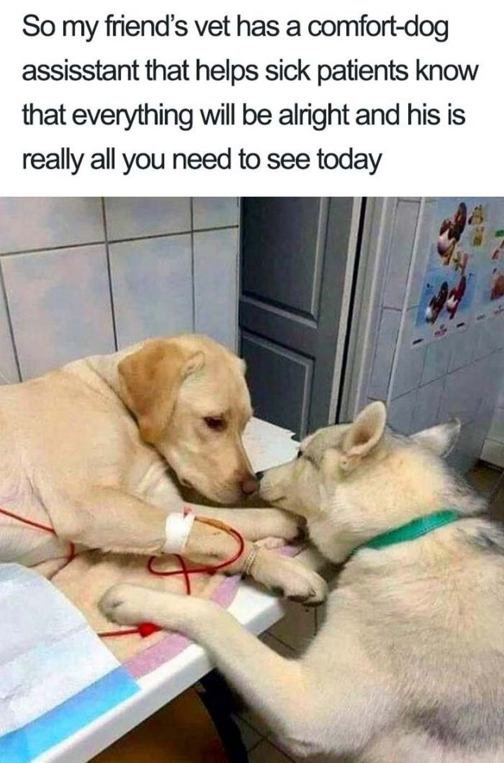 "55 Cute Dog Posts - ""So my friend's vet has a comfort dog assistant that helps sick patients know that everything will be alright and his is really all you need to see today."""