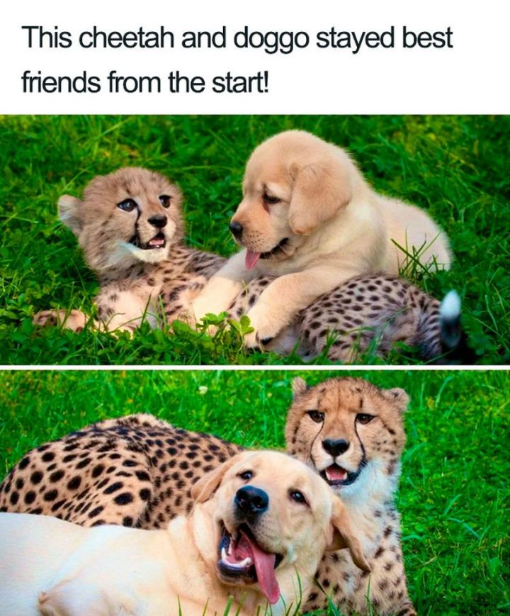 "55 Cute Dog Posts - ""This cheetah and doggo stayed best friends from the start!"""