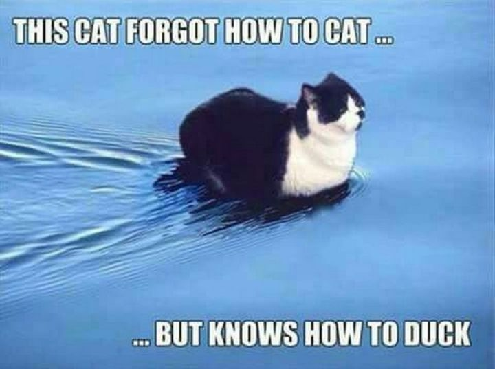 "67 Hilarious Memes - ""This cat forgot how to cat...but knows how to duck."""