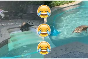 Toronto Raccoon Has a Pool Party for One in Backyard Pool.