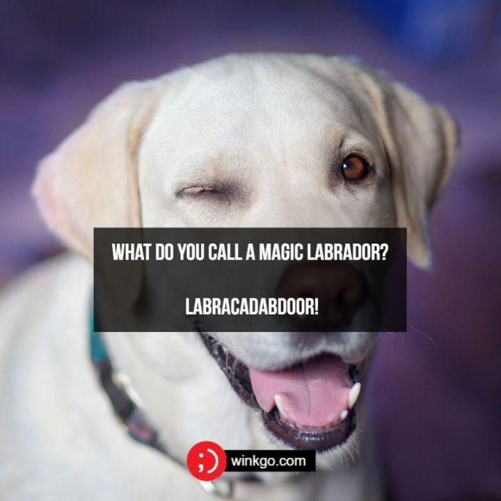 71 Two-Line Funny Jokes - What do you call a magic Labrador? A Labracadabdoor!
