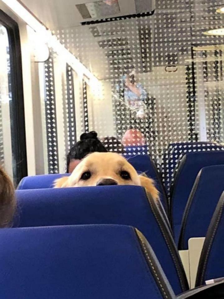 "Dogspotting: ""Found a big boy peeking at us in the train!"""