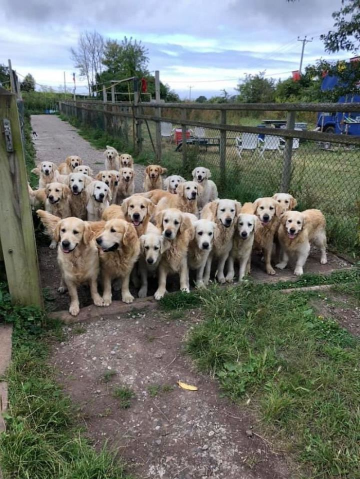 """Dogspotting: """"A golden gate of good boys and girls."""""""