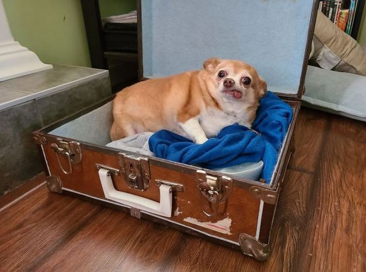 """""""I'm housesitting for some family friends and they mention they're dogsitting, no details. Meet Princess, she's toothless, sleeps in an old suitcase, and...yes, she's chubby, look we just met. I can't judge. Edit: there's an original dog that lives here, so I was dogsitting all along, it's just a known dog."""""""