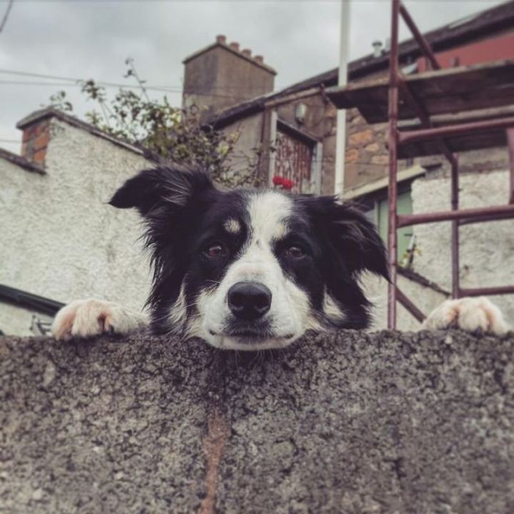 """""""Found this good boy peeking over a wall down by the sea in Scotland..."""""""