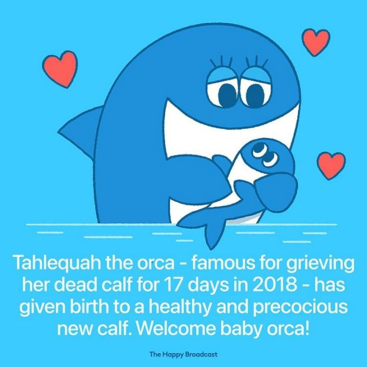 """Tahlequah the orca - famous for grieving her dead calf for 17 days in 2018 - has given birth to a healthy and precocious new calf. Welcome baby orca!"""
