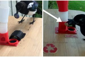 Hans Forsberg Builds Bird Feeder That Lets Wild Magpies 'Pay' For Food.