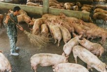 Photo of BREAKING: Another New strain of swine flu discovered in China