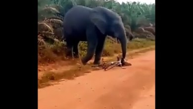 Elephant Chased A bicycle rider and seizes his bicycle   Winnaijatv